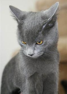 I had a Russian Blue once...wonderful kitty