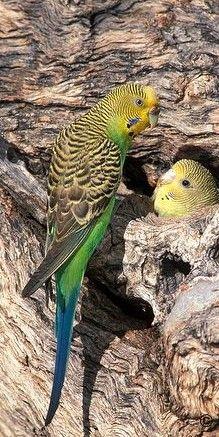 What Is A Bird, Native Australians, Australian Birds, Parakeets, Nests, Creature Design, Beautiful Birds, Parrot, Feathers