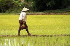 rice field - PHONSAVAN, LAOS