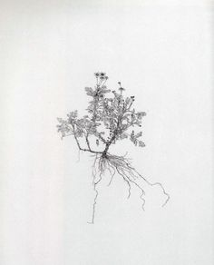 Michael Landy, Feverfew, from the series Nourishment, 2002. Etching on paper, 77.0 x 60.2cm platemark; 97.5 x 81.0cm sheet. John Kaldor Family Collection at the Art Gallery of New South Wales.