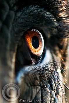 Photograph of Close-up of eye of an Indian elephant, Jaipur, India - License this photo from Steve Bloom Images Elephant Eye, Asian Elephant, Elephant Tattoos, Elephant Photography, Eye Photography, Animal Photography, Charcoal Picture, Steve Bloom, Elephas Maximus