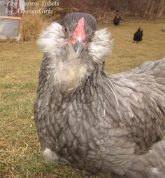 Ameraucana Chickens | Araucana, Ameraucana or Easter Egger (Olive Egger,Rainbow Layer): What ...