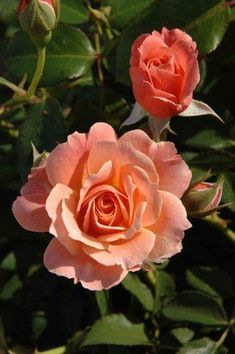 Bordure Abricot ~ Floribunda Rose