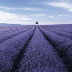 ラベンダーのオイルを一滴。夢も紫に色づきそうな予感…☆ #ラベンダー  *