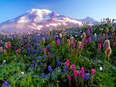 Wildflowers in the meadow- I think this is Mt. Hood in Oregon