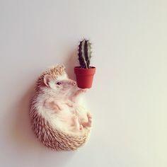 By shota Tsukamoto .. #animals #photographer #instagood #hedgehogstagram #hedgehog #sometag #cactüs #food