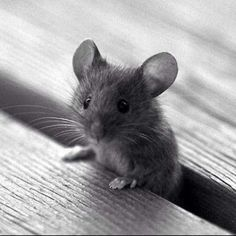Mouse Cute little Critter Cute Creatures, Beautiful Creatures, Animals Beautiful, Cute Baby Animals, Animals And Pets, Funny Animals, Cute Small Animals, Super Cute Animals, Cutest Animals