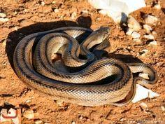 Rhinechis scalaris adult