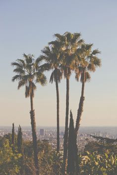 The essential California palm trees.
