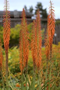 K is for kniphofia