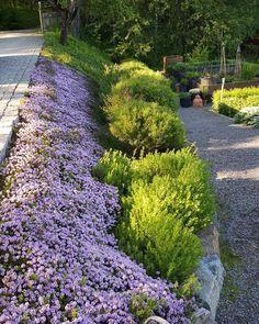 Har ni en solig brant slänt som behöver en bra marktäckare ska ni prova Kaskadtimjan!! Thymus longicaulis 'Odoratus'. Blommar i juni med doftande blommor. Drar till sig massor av bin. Jag tycker den släpper igenom minimalt med ogräs.