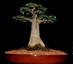 Baobab is a low maintenance tree and regarded as world's largest succulent. It can also be grown in pot, baobab bonsai is famous and is particularly well sui. Bonsai Tree Types, Bonsai Tree Care, Indoor Bonsai Tree, Bonsai Plants, Garden Plants, Bonsai Trees, Balcony Garden, Bonsai Ficus, Plants Indoor