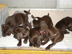 For sale- German Shorthaired Pointer puppies : Duck Hunting Chat ...