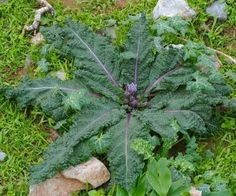 Imaginea thumbnail despre Mandragora – planta sacra ce vindeca toate bolile