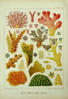 Corals of the great barrier reef 1893