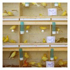 yellow birds in paris by alicia bock (http://www.etsy.com/listing/29871108/marche-aux-oiseaux-original-signed-fine)