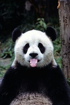 things you didn't know about pandas A panda with its tongue out! This panda got styleA panda with its tongue out! This panda got style Animals And Pets, Baby Animals, Funny Animals, Cute Animals, Cute Bear, Cute Panda, Panda Panda, Panda Funny, Bored Panda