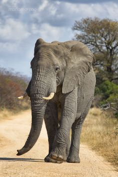 Big Bull Stroll #ivoryforelephants #stoppoaching #elephants for #ivory ! #animals