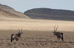 #NAMIBIA, ORYX A SOSSUSVLEI Wildlife Nature, Mammals, Kangaroo, Deserts, Africa, Birds, Spiritual Cleansing, Animaux, Wilderness