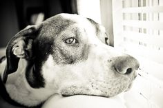 Baylor - An Adoption Story and Photo Essay - Great Dane / Animal Rescue