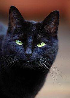 Black Magic Molly sitting, the black cat stares. her eyes of velvet green searching the night were stillness lies, for sound Pretty Cats, Beautiful Cats, Animals Beautiful, Animals And Pets, Cute Animals, White Cats, Black Cats, Black Kitty, Gatos Cats