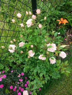 A minature rose I planted in the garden last year. It's really doing well. Seems very disease resistant. Dean, Rose, Garden, Flowers, Plants, Animals, Pink, Garten, Animales