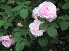 Empress Josephine, an antique Gallica rose that bloomed in Empress Josephine's garden.  Because the leaves have a slight blue-gray tint, rosarians theorize that this rose is also related to the Alba category of antique roses.  Photo by Lynn Franklin