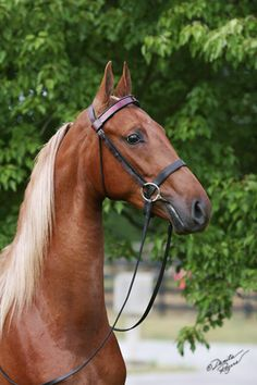 Sweet Iris  2005 Chestnut Saddlebred Mare