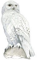 Owl Drawings   Snowy Owl