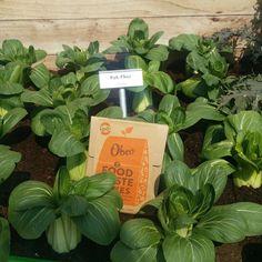 Obeo in full Bloom. at Bloom in Dublin's Phoenix Park Growing Cauliflower, Food Waste, Compost, Dublin, Phoenix, Irish, Recycling, Bloom, Herbs