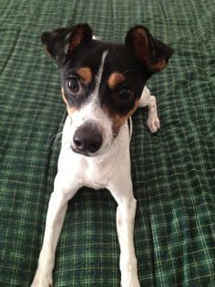 The Rat Terrier comes within a assortment of coat colors and sizes.