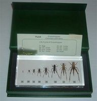 Real Life Cycle Grasshopper In Box