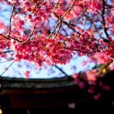 【daikioosaki】さんのInstagramをピンしています。 《#写真#ニコン#カメラ#桜#初桜#目黒川 #사진#니콘#카메라#일본#도쿄#메구로#메구로강#벚꽃 #photo#Nikon#camera#japan#tokyo#meguro#Sakura#cherryblossoms》
