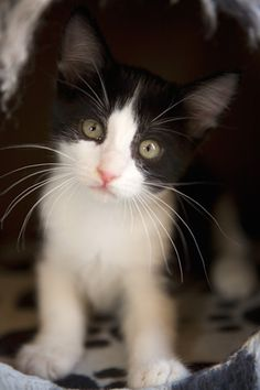 I would love a little black and white kitten, but wont be able to have one.