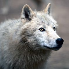 Are the direwolves of House Stark real? Winter is coming, and we have answers to all of your questions about Game of Thrones' legendary dog breed. | Dogster