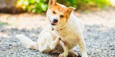 Fleas are more than a nuisance. Over time, an untreated flea infestation can be deadly. Dog Training Near Me, Coconut Oil For Dogs, What Dogs, Best Dog Food, Dog Daycare, Animal Shelter, Dog Life, Your Pet, Natural Solutions