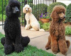 Standard Poodle - Standard Poodle Photo (35916857) - Fanpop