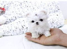 Supper Tiny Teacup #maltese Puppies For Sale Male and female tiny Maltese vet checked, de-wormed, vaccinated will mature to be 5-7 lbs adult size non shedding and hypoallergenic, full fluffy white coats well