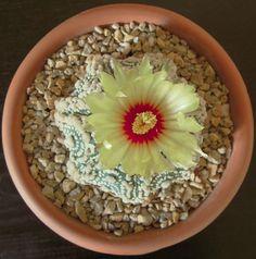 Astrophytum asterias cv Hanazono della famiglia delle Cactacee