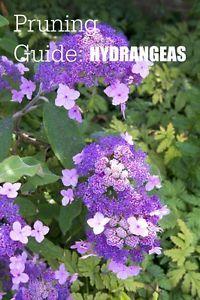 Garden Pruning Guide | Hydrangeas | List of varieties and when to prune.