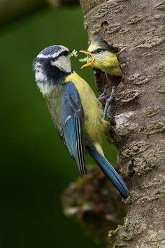 Modřinky Blue Tit, Little Birds, Beautiful Birds, Small Birds