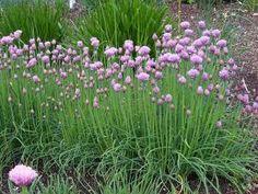 Anti-bladluis: Een bekend en succesvol middel is het planten van Allium tussen de rozen. Bvb Allium schoenoprasum (Bieslook)