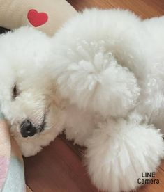 Puppy Care, Pet Puppy, Pet Dogs, Dogs And Puppies, Dog Cat, White Puppies, White Dogs, Coton De Tulear, Cute Baby Dogs