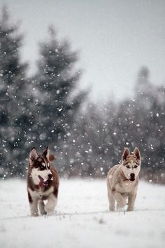 Winter wonderland and puppies! Siberian Husky Spaniel Terrier Dog Photography Puppy Hounds Chien Puppies Pup Huskies