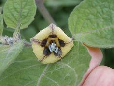 Flor de la physalis o farolillo chino.