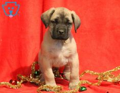 This is a beefy English Mastiff puppy who has a great temperament. He is a handsome puppy who enjoys attention and will make a loyal family companion Mastiff Puppies For Sale, Cute Puppies, Dogs And Puppies, Animals And Pets, Baby Animals, Cute Animals, English Mastiff Puppies, Puppy Breath, Gifts Love