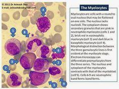 Medical Laboratory and Biomedical Science: Morphology of Myeloid Precursors