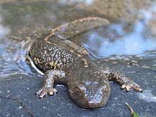 Pyrenean brook salamander - Wikipedia, the free encyclopedia