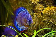 Blue striped fish in the tropic
