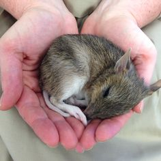 This is Mirii, our gorgeous 72-day-old Eastern Barred Bandicoot joey. As she gets older and bigger she is getting more and more active, so keep your eyes peeled next time you're in the Nocturnal House at Healesville Sanctuary! Mirii's usually active in her exhibit in the afternoon.